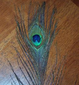 Natural Peacock Feather Eye - 1 metre - Click for Detail