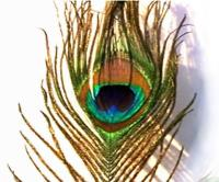 Natural Peacock Feather with Eye and Eyelash - 60cm  - Click for Detail
