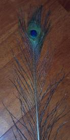 Natural Peacock Feather Eye Stem - 100cm - Click for Detail