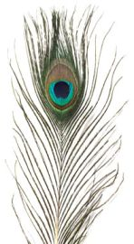Mini Peacock Feathers with Eye - Natural - 20cm - Click for Detail