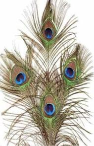 Natural Peacock Feather with Eye - 30cm - Click for Detail