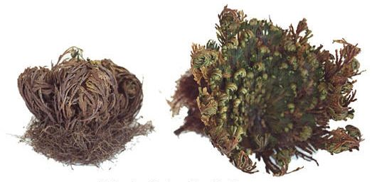 The Rose of Jericho - Resurrection or Dinasour plant - Repels Negativity - Watch it come alive - just add water - The Realm of White Magic - Australia