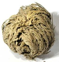 The Rose of Jericho Plant - Closed - Dormant State before Watering